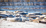 Sleeping Harbor Seals