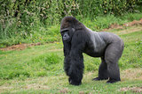Captive endangered Western Lowland Gorilla