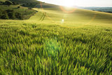 Beautiful landscape wheat field in bright Summer sunlight evening