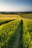 Beautiful landscape wheat field in bright Summer sunlight evenin