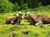 Alps with cows