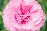 Beautiful pink carnation with green background