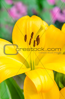Beautiful yellow lily flower in summer garden