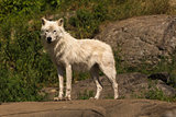 A single Arctic Wolf