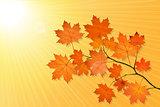Autumn scenery with maple tree