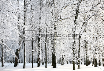 Beautiful snow branches of russian winter in sunlight