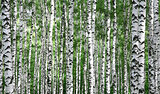 Trunks of summer birch trees