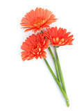 Orange gerbera flowers