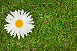 Chamomile flower over green grass