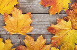 Colorful autumn maple leaves