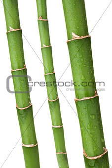 Fresh bamboo stems with wated drops