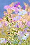 nicotiana alata flowers