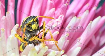 (Wasp