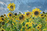sunflowers in rain