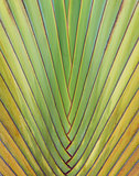 Ravenala madagascariensis  palm