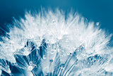 Super macro shot of white dandelion with water drops