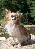 chihuahua in the river