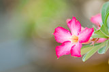 Desert Rose or Impala Lily or Mock Azalea flower