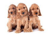 puppies english cocker