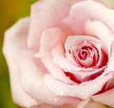 Fresh pink rose