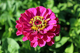 beautiful and red flower of zinnia