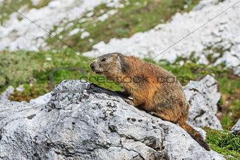 Alpine marmot (Marmota marmota) on rock