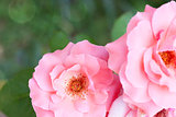 Amazing pink roses on natural background with light bokeh effect