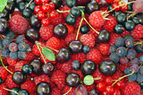 Assorted berries (raspberries, black and red currants, Saskatoon