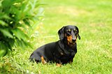 A small black dachshund