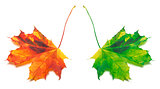 Orange and green yellowed maple-leaf