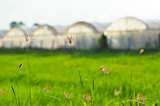 Grass with greenhouse background