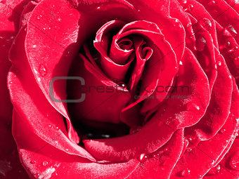 Close up rose and drops
