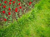 Red Tulips and Green Grass