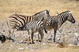 Zebra foal suckling, Etosha, Namibia