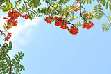 Orange rowan berries on a tree.