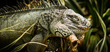 Iguana sleeping on branch close up