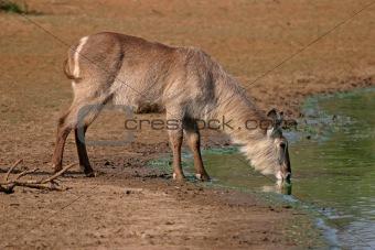 Waterbuck drinking