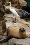 Sealion and white bird resting on the rocks