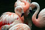 Pink and white flamingos grooming themselves