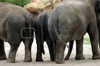 Three elephants standing together in their enclosure