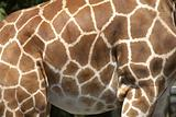 markings of the rothchilds giraffe