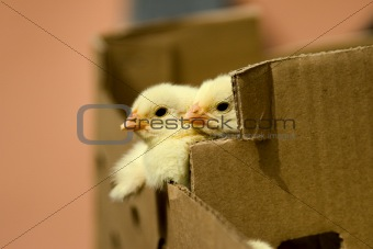 baby chicken in the box
