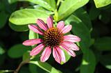 Echinacea Flower