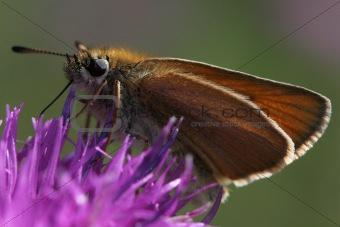 British moth