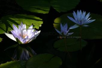 Beautiful white lotus on black water