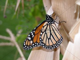 monarch on cornstalk