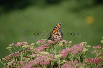 monarch in field