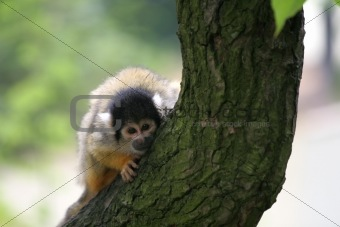 Curious squirrelmonkey