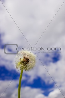 Blowball on Blue Sky