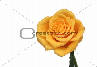 One yellow rose on a white background
